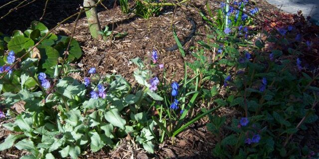 Maples and Pulmonarias, Acers and Lungworts
