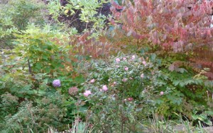 October Colorful Shrubs in New England
