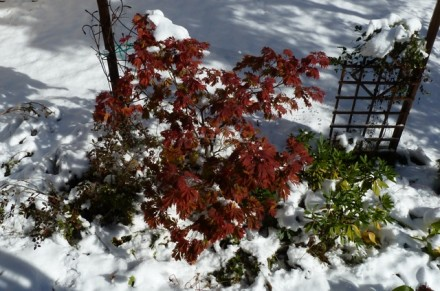 Laceleaf in the Unusual Fall Snow