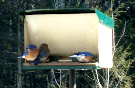 Bluebirds Visit my Feeder January 26
