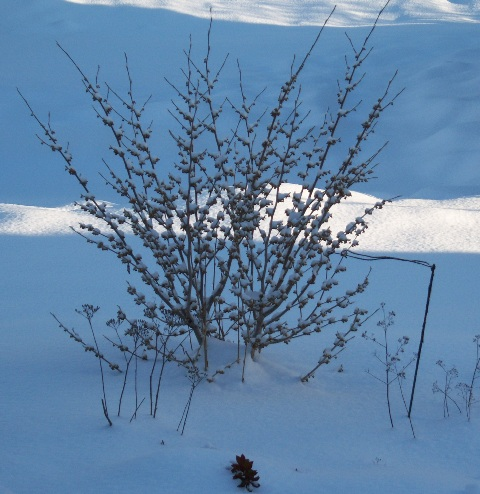 Hamamelis 'Arnold Promise' Not in Bloom Yet