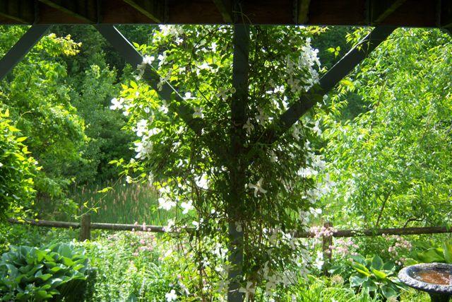 Clematis m. Grandiflora below Deck