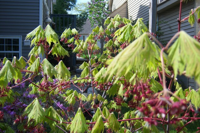 Acer folicifolium in bloom