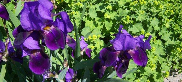 Iris germanica (Bearded Iris) with Alchemilla (Ladies Mantle)