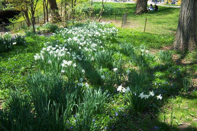 Exemplenary Daffodil Drift, Central Park, 4/25/09