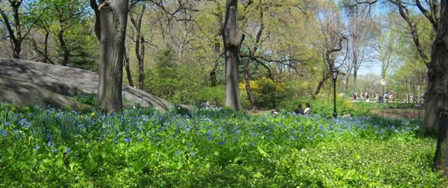 Mertensia in Central Park NYC April 25 2009