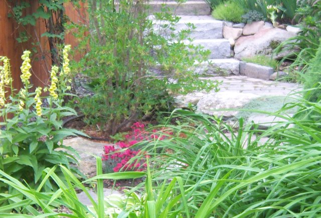 Yellow perennial Digitalis and red Dianthus highlight the foliage of Hemerocallis and Enkianthus