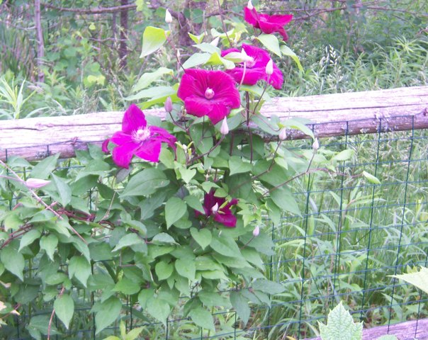 Red Clematis visually separates the wild from the cultivated garden