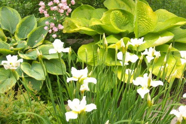 White Siberian Iris, Yellow Hosta 'Sub and Sustance', Pink Agilegia