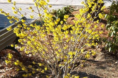It's Witch Hazel, Forsythia blooms later