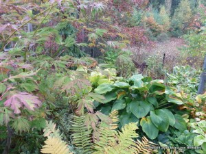 Laceleaf J. Maple with yellowed fern, blue hosta, Pin oak scarlet and green leaves