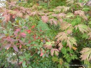 Acer folicifolia or Laceleaf Japanese Maple with PJM rhododendren