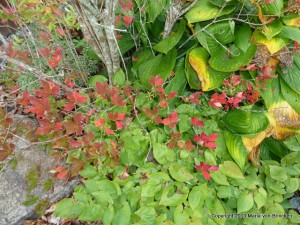 Scarlet enkianthus with epimedium and hosta with a couple of yellow leaves