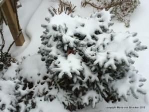 "Spruce ""snow flowers"""