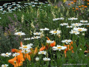 p-mv-daisy  July border 015