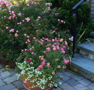 Rosa 'the Fairy' with pink Lantana and white Scavola