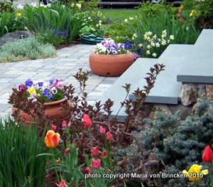 spring garden with tulips and globe spruce in my spring flower garden