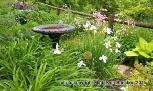 white Siberian iris and pink columbine in my spring flower garden